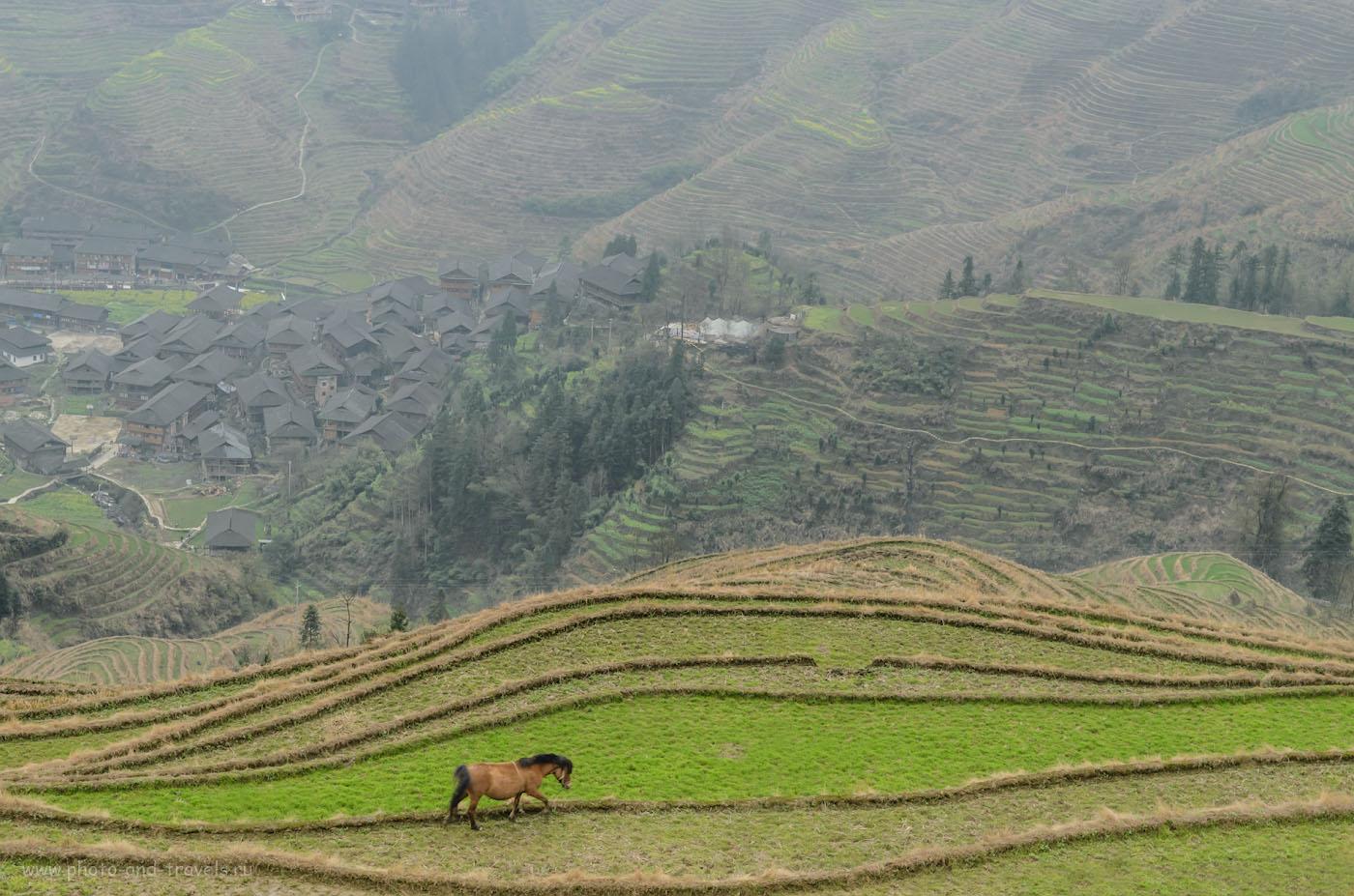 Фото 14. Лошадка на рисовых террасах Лунцзи в Китае