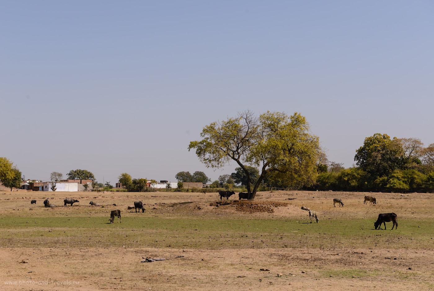 Фото 20. Окраина Кхаджурахо. Коровы и «их производное» под деревом. 1/320, -0.33, 9.0, 100, 60.
