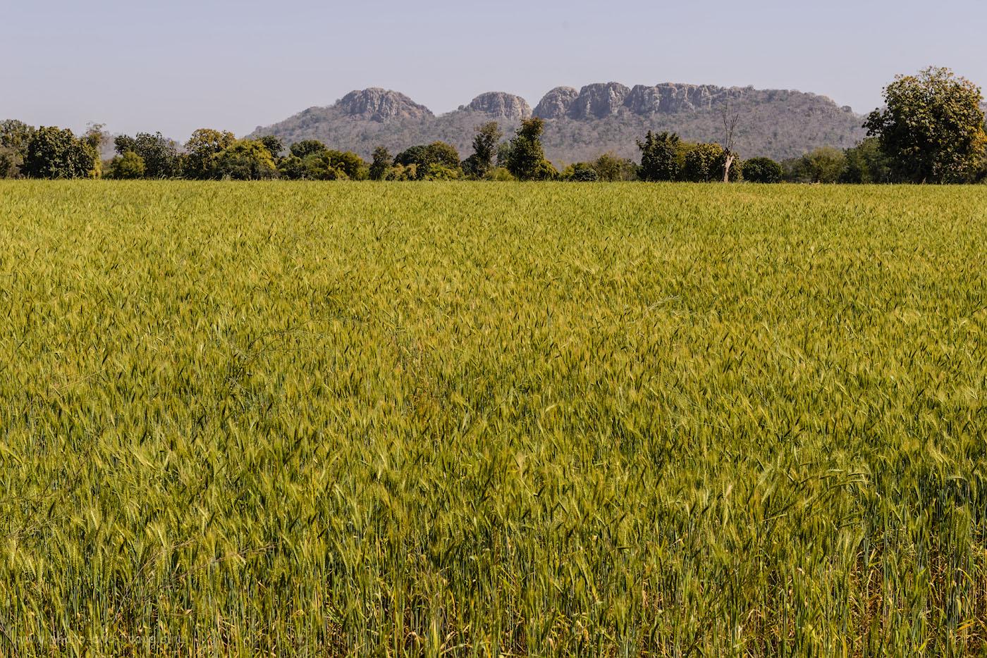 Фотография 21. Пшеничные поля и холм Dantla Hill в окрестностях Кхаджурахо. Именно к нему мы отправились на велосипедах. 1/250, 9.0, 100, 55.