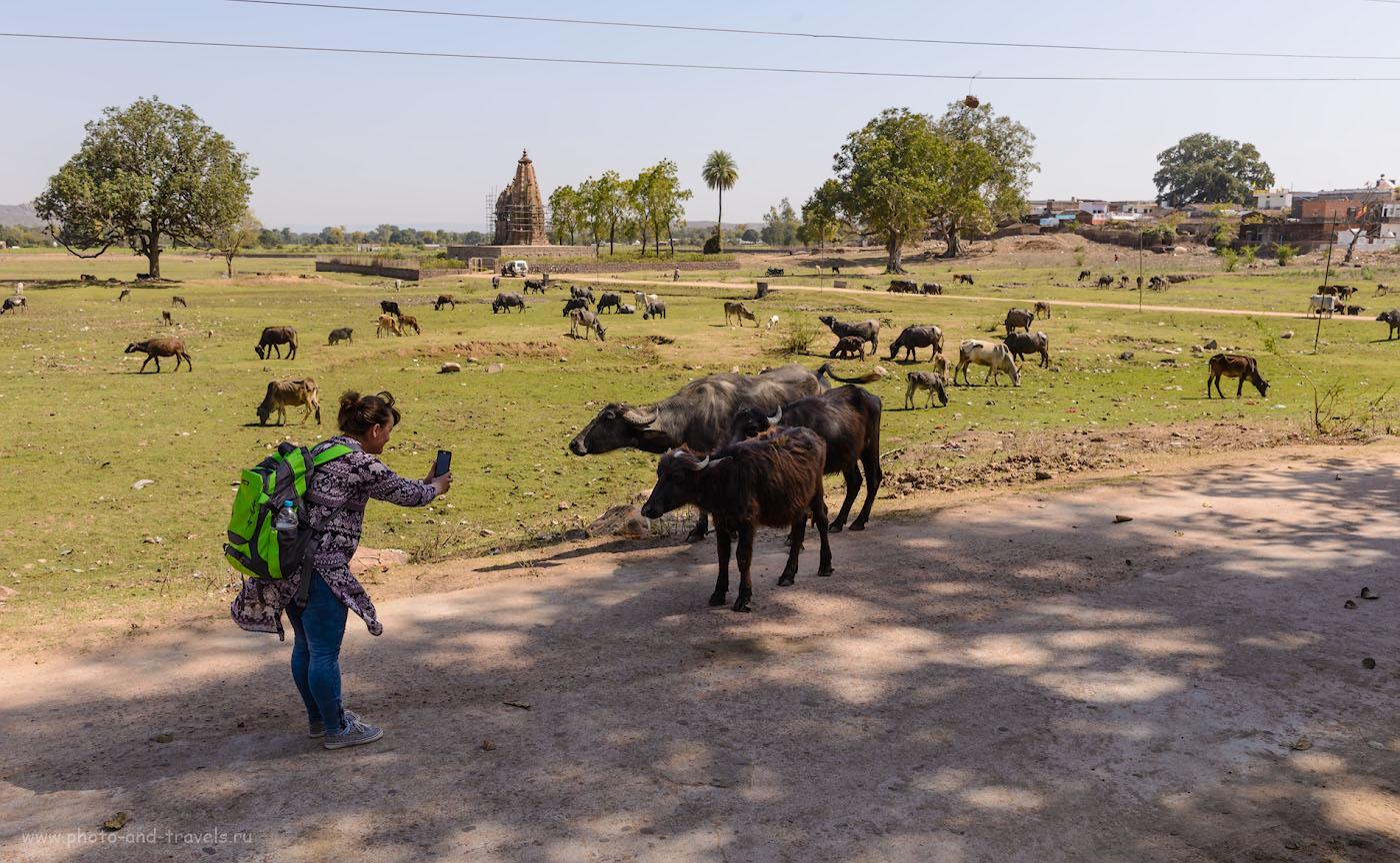 Фото 30. Групповой портрет буйволов. На заднем плане храм Javari Temple, относящийся к Восточной группе. Построен в период с 975 по 1100 годы. 1/160, 9.0, 100, 29. По возвращению в деревню, мальчик приглашает к себе домой. Соглашаемся. Проезжаем трущобы, снимаем обувь и заходим в лачугу с невысоким потолком. Нищета…