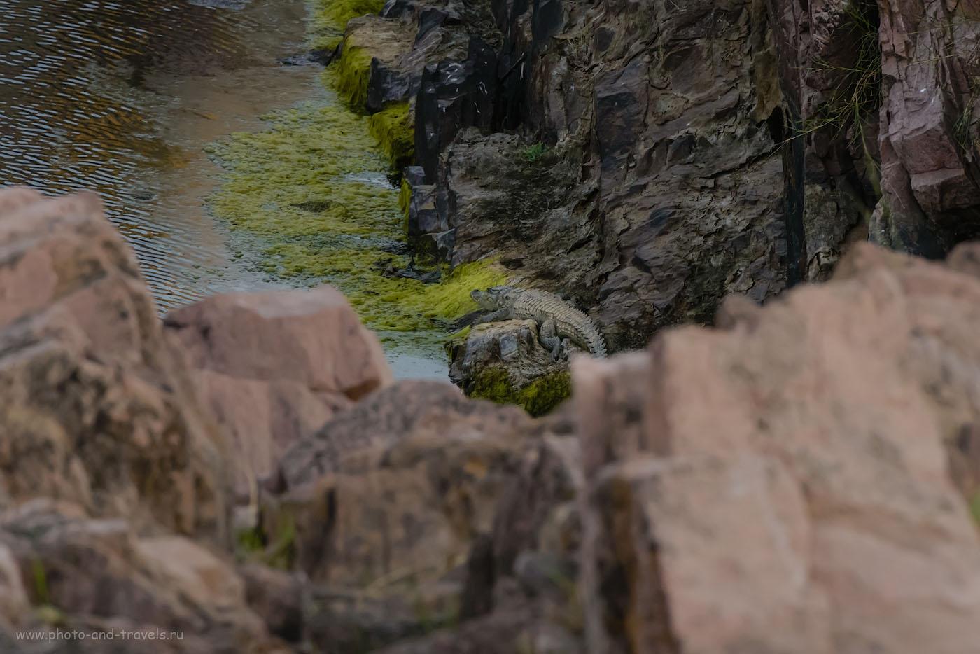 Фото 10. Фотоохота на крокодила в окрестностях водопадов Raneh Falls. Отчеты туристов об экскурсиях из Кхаджурахо. 1/500, -0.67, 14.0, 6400, 280.