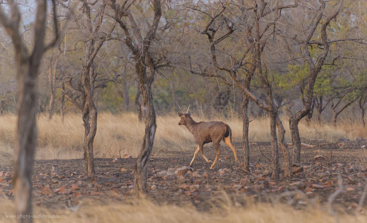 Фото 1. Индийский замбар в тигрином заповеднике «Панна», что в окрестностях Кхаджурахо. Камера Nikon D610, объектив Nikon 70-200 mm f/2.8 + телеконвертер TC-14E II. Параметры съемки: выдержка 1/640 сек., экспокоррекция +1.33EV, f/4.0, ISO 6400, ФР=280 мм.