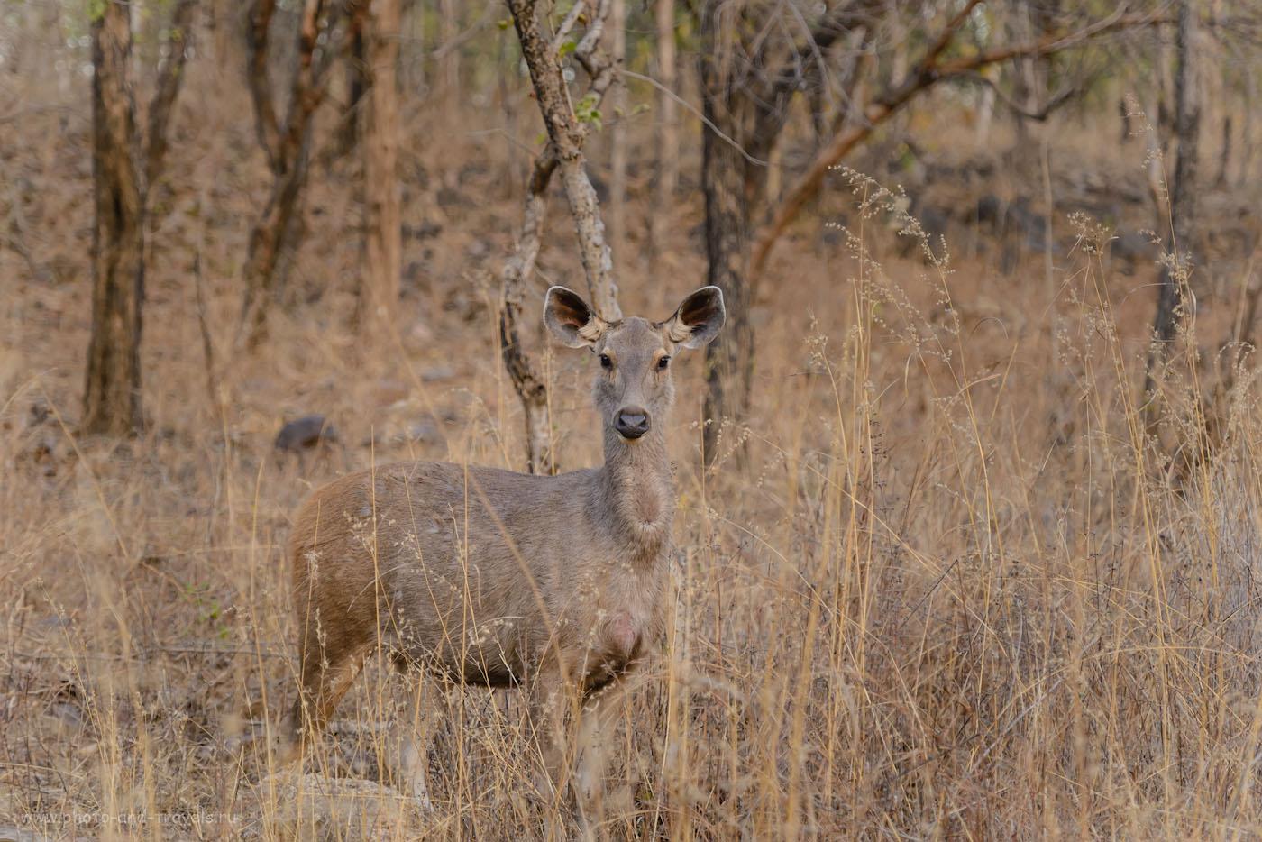 Фото 3. Самка индийского замбара. Отчет о фотоохоте в национальном парке Panna Tiger Reserve. 1/320, 4.0, 1400, 145.