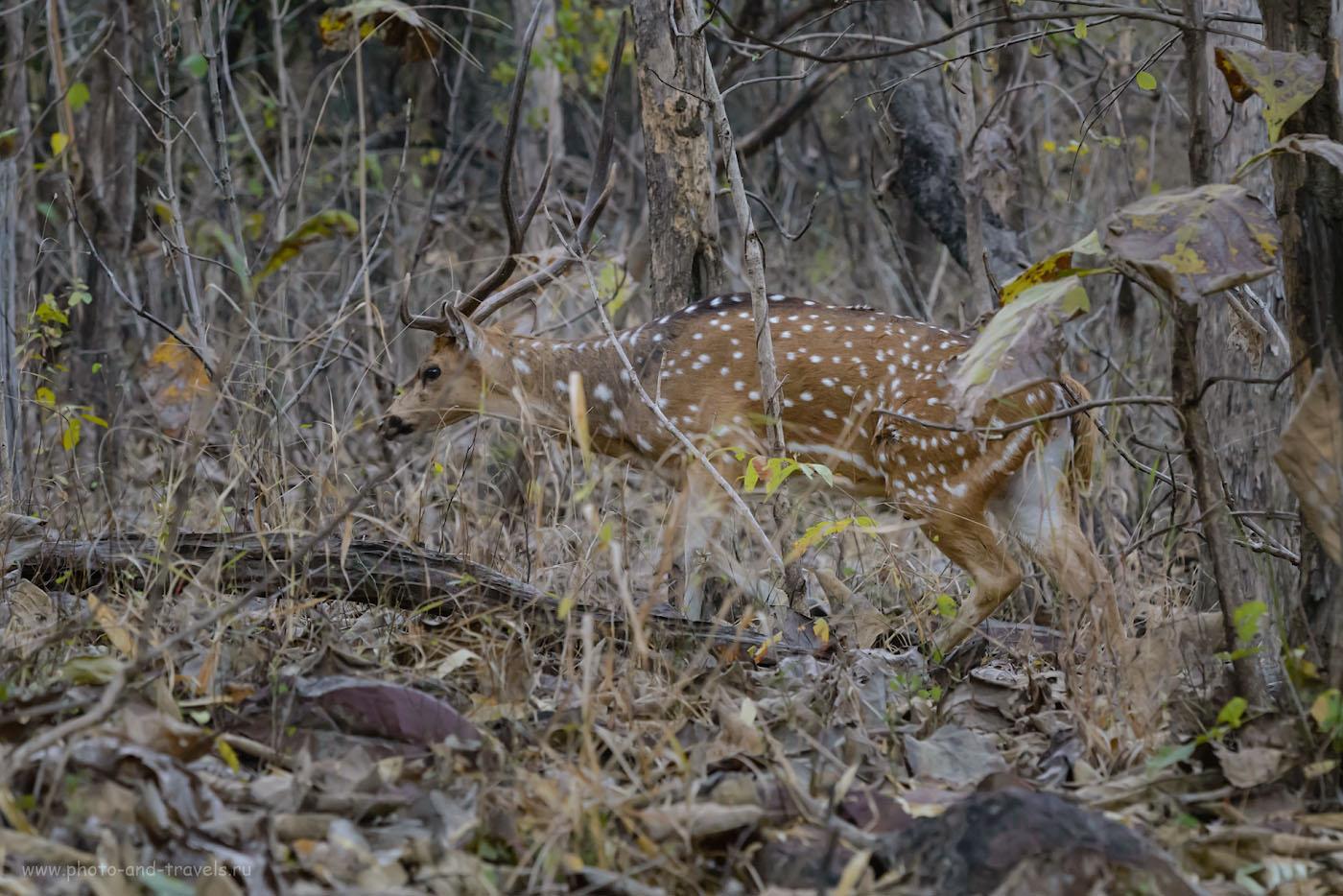 Фотография 4. Самец аксиса в зарослях буша. Что можно увидеть рядом с Кхаджурахо. 1/320, 7.1, 6400, 135.