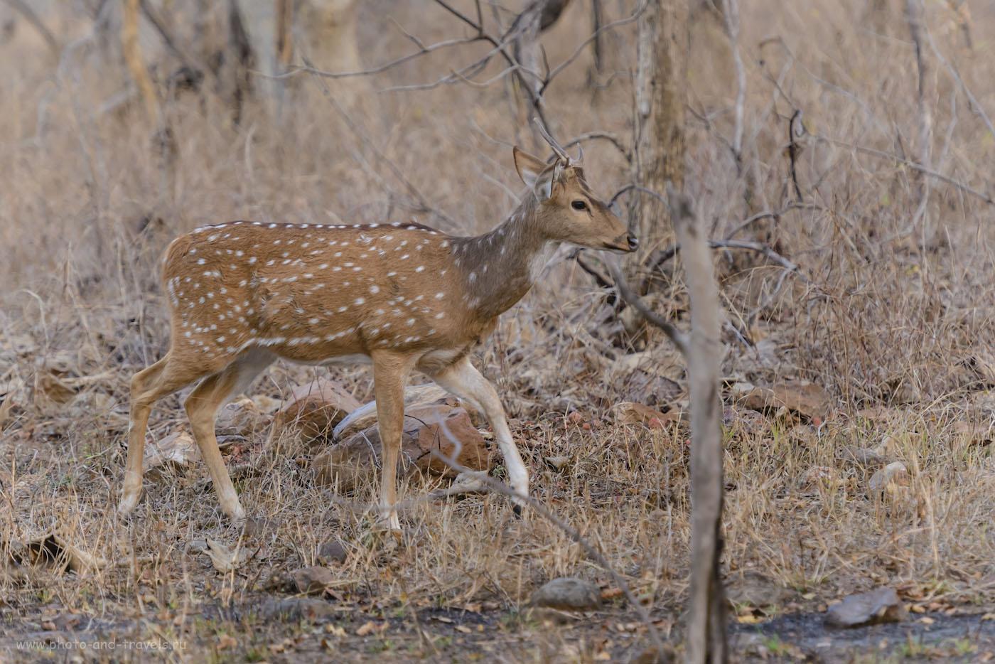 Фото 5. Это – либо молодой самец аксиса, либо четырехрогая антилопа. Отзыв о фотоохоте в заповеднике Panna National Park. 1/400, 4.0, 2000, 195.