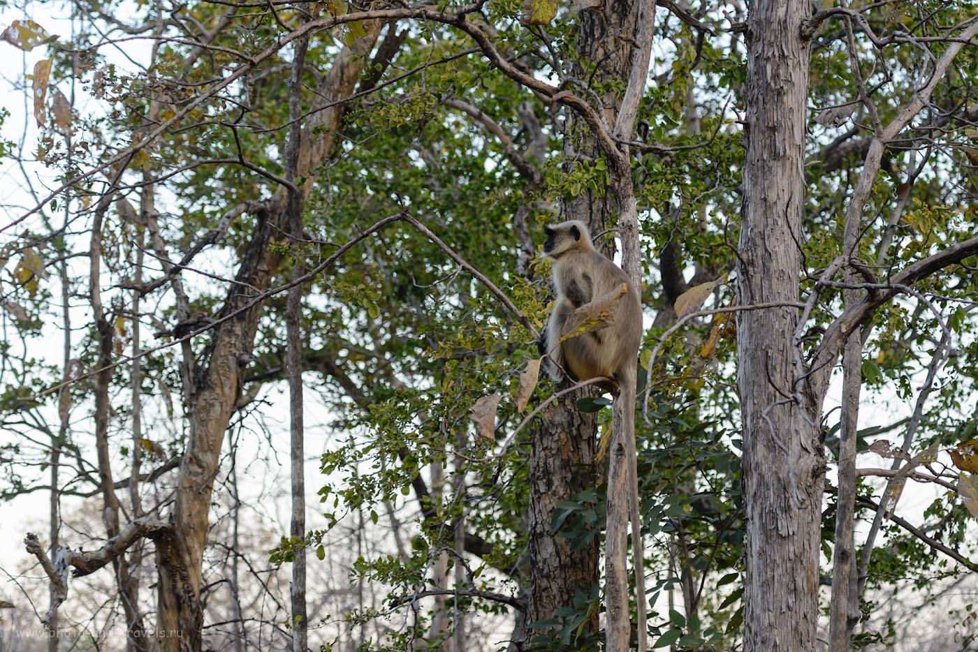 Фото 6. Серый лангур в национальном парке «Панна». Обезьяны этого вида, наверное, самые распространенные в Индии. 1/200, 4.0, 400, 100.