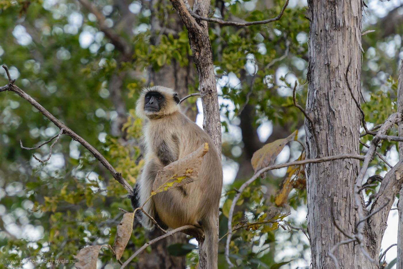 Фотография 7. Ну и, взгляд у серых лангуров всегда такой высокомерный, когда они на туристов смотрят. Джип-сафари в заповеднике Panna Tiger Reserve. 1/500, 4.0, 1800, 240.