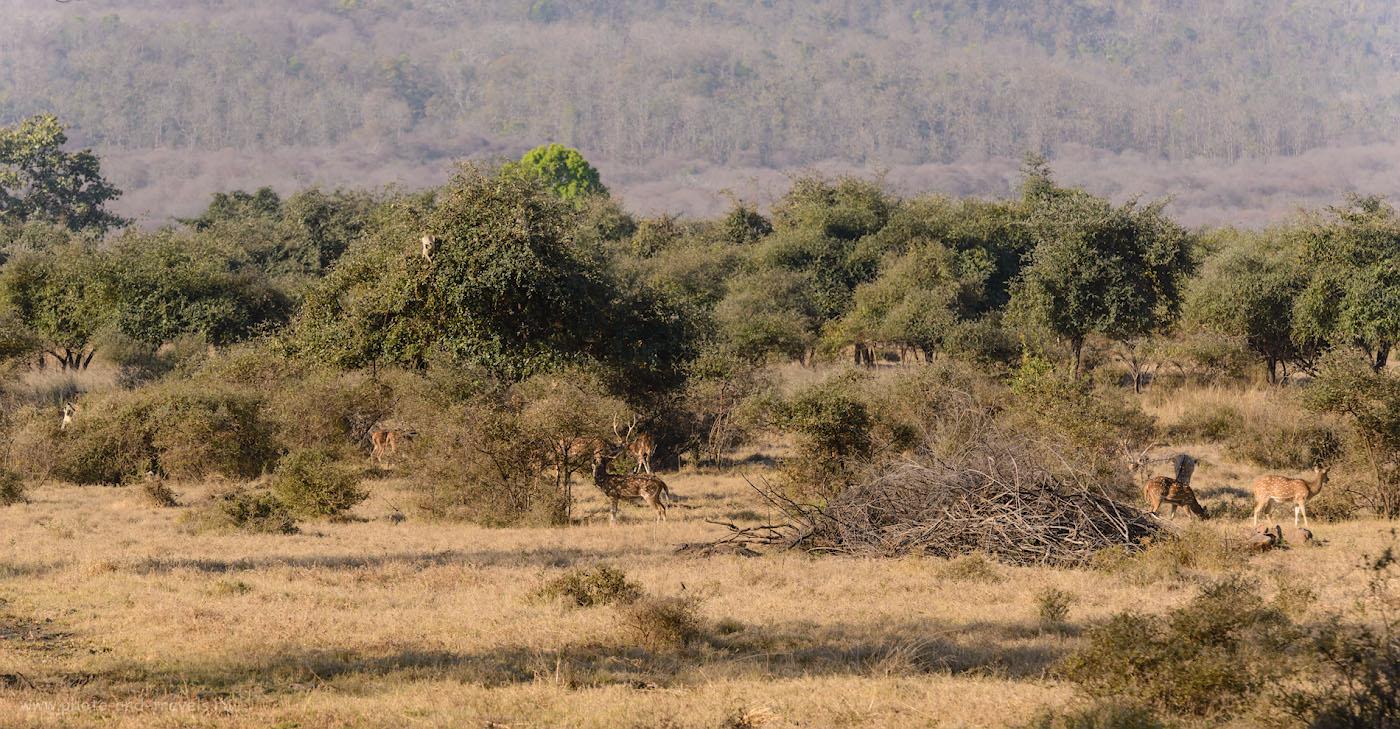 Фото 12. Аксисы – один из самых распространенных обитателей национального парка «Панна». Еда для тигров. 1/400, 8.0, 360, 175.