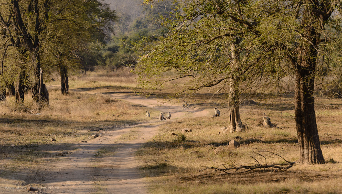 Фото 13. Стая серых лангуров. Отзыв о фотоохоте в заповеднике «Панна», что рядом с деревней Кхаджурахо. 1/500, 8.0, 400, 220.