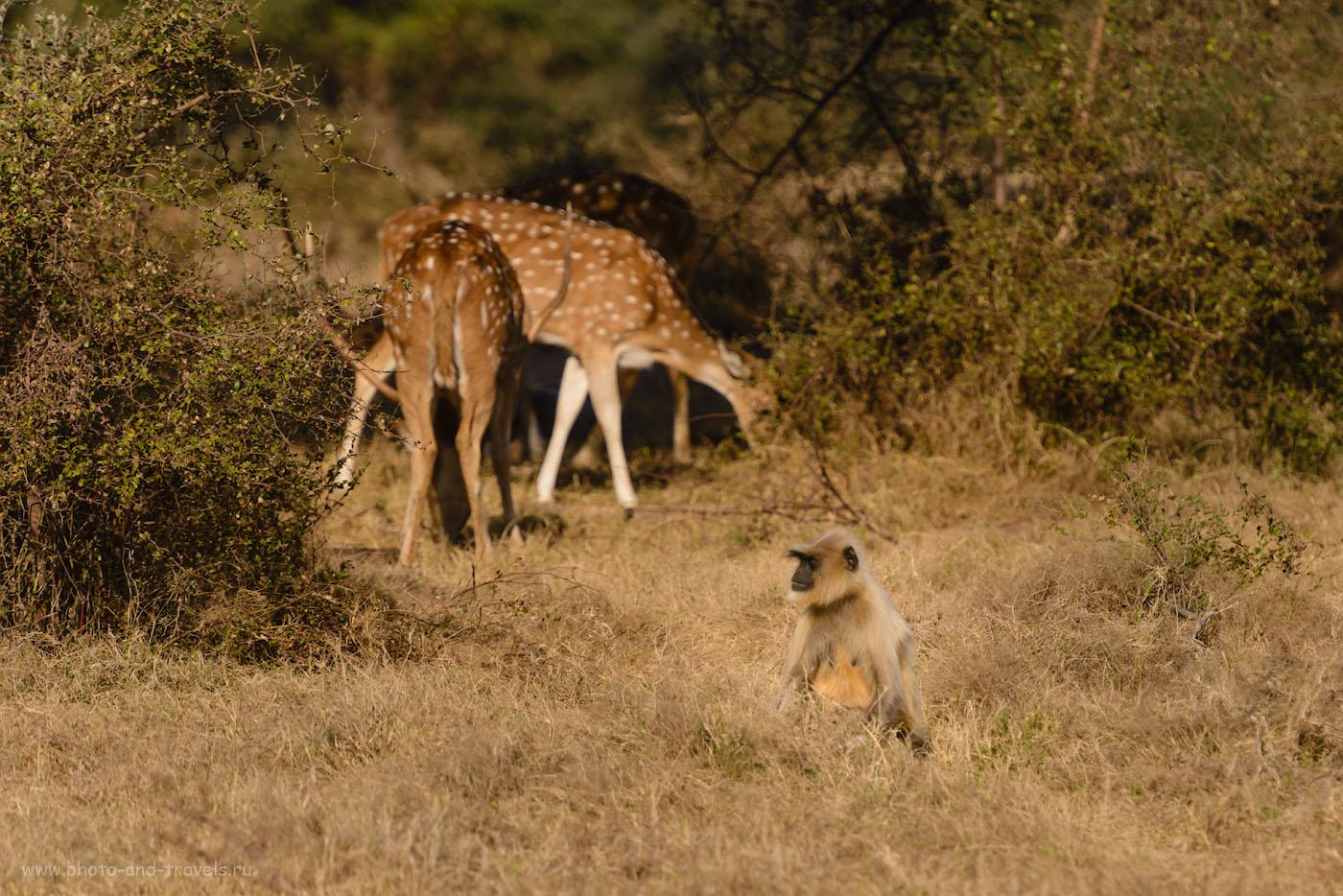 Фотография 14. Серые лангуры и аксисы. Утро в тигрином заповеднике Panna Tiger Reserve. 1/800, 4.5, 100, 250.
