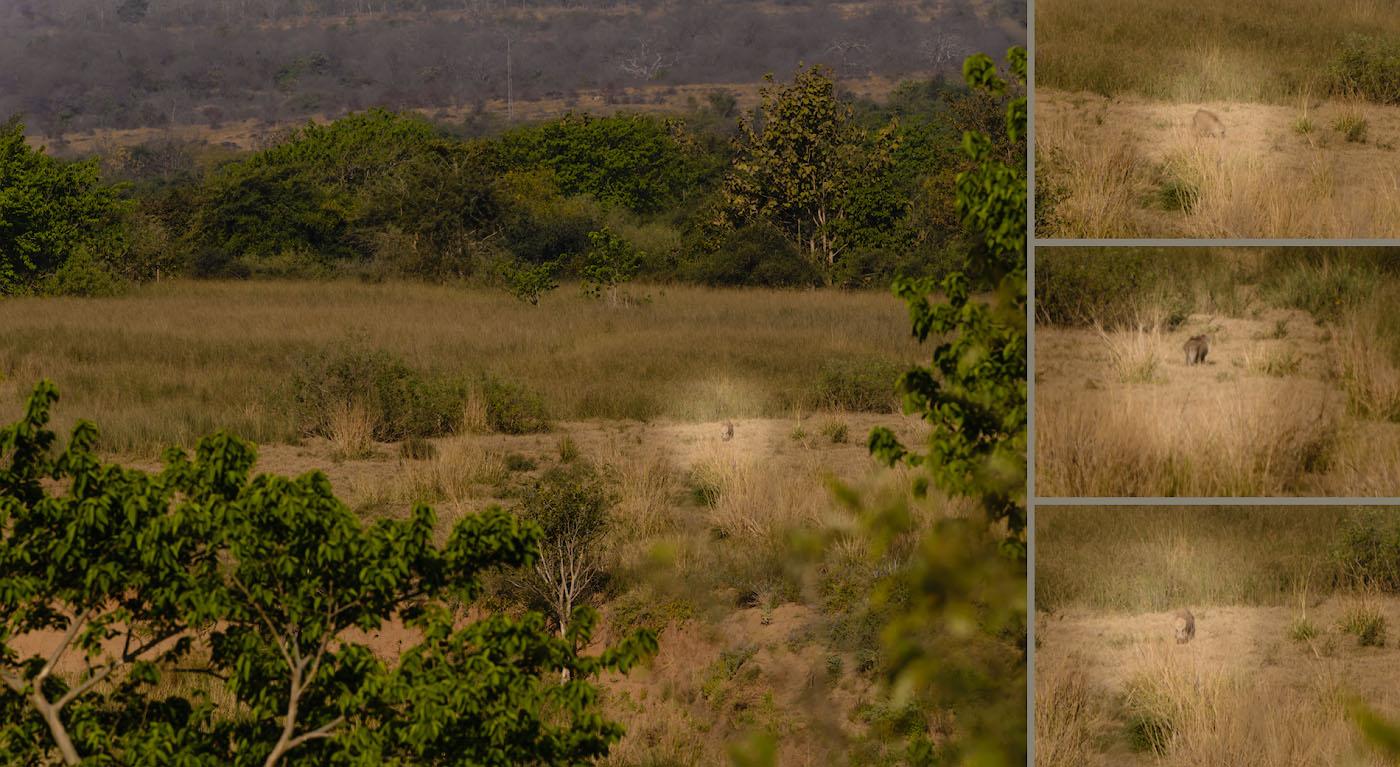 Фото 15. Рыбаки ловили рыбу, а поймали рака… Мы охотились на тигра, а сняли дикого кабана. Отзыв о фотосафари в заповеднике «Panna National Park».