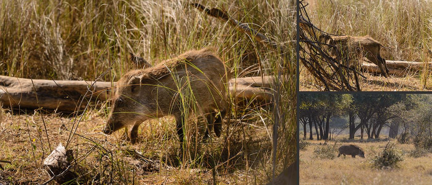 """Фото 16. Дикий кабан в зарослях Национального парка """"Панна"""". Отзывы о фотоохоте."""