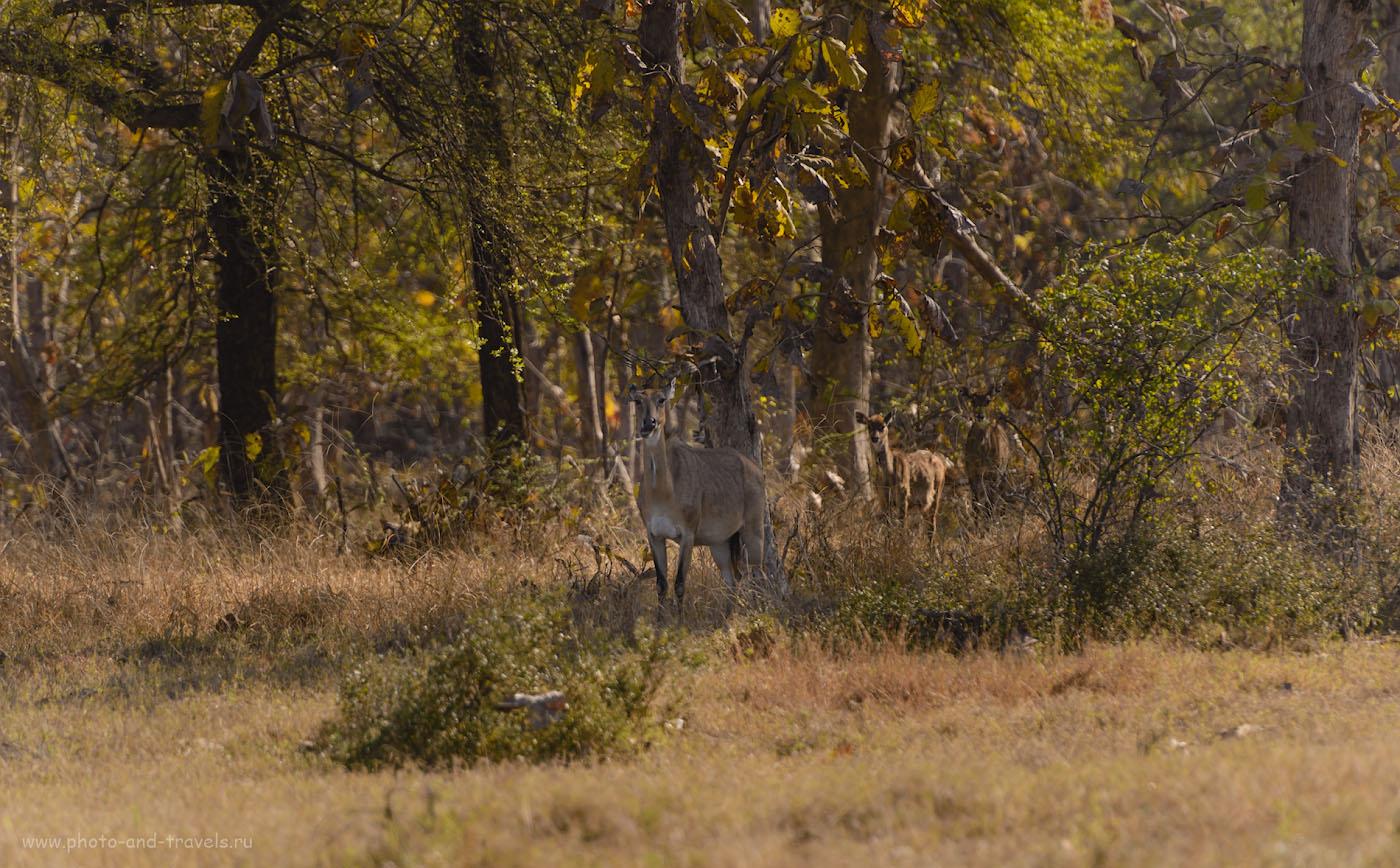 Фотография 17. Самка и детеныш антилопы Нильгау в заповеднике Panna Tiger Reserve. 1/640, 4.0, 200, 280.
