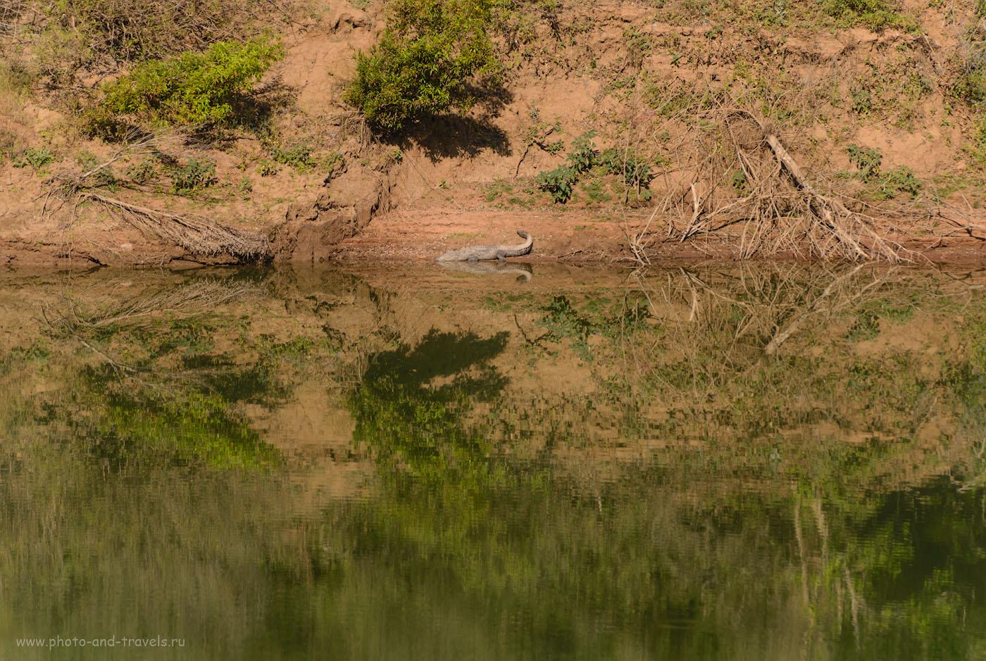 Фото 18. Крокодил на берегу реки Кен (Ken River) в Национальном парке Panna National Park. 1/800, 4.0, 100, 280.