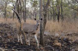 Safari na tigrov v natsionalnom parke Panna okolo goroda Kkhadzhurakho v Indii Polosatykh khishchnikov my iskali v gustoi trave Ispolzovalsia takzhe Nikon D610 s tem zhe televikom i ekstenderom