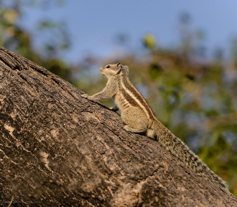 Фотография 21. Пальмовые белки – жители комплекса Кутб-Минар. За полдня в Дели можно не только посмотреть старинные развалины, но и устроить фотосафари на грызунов.