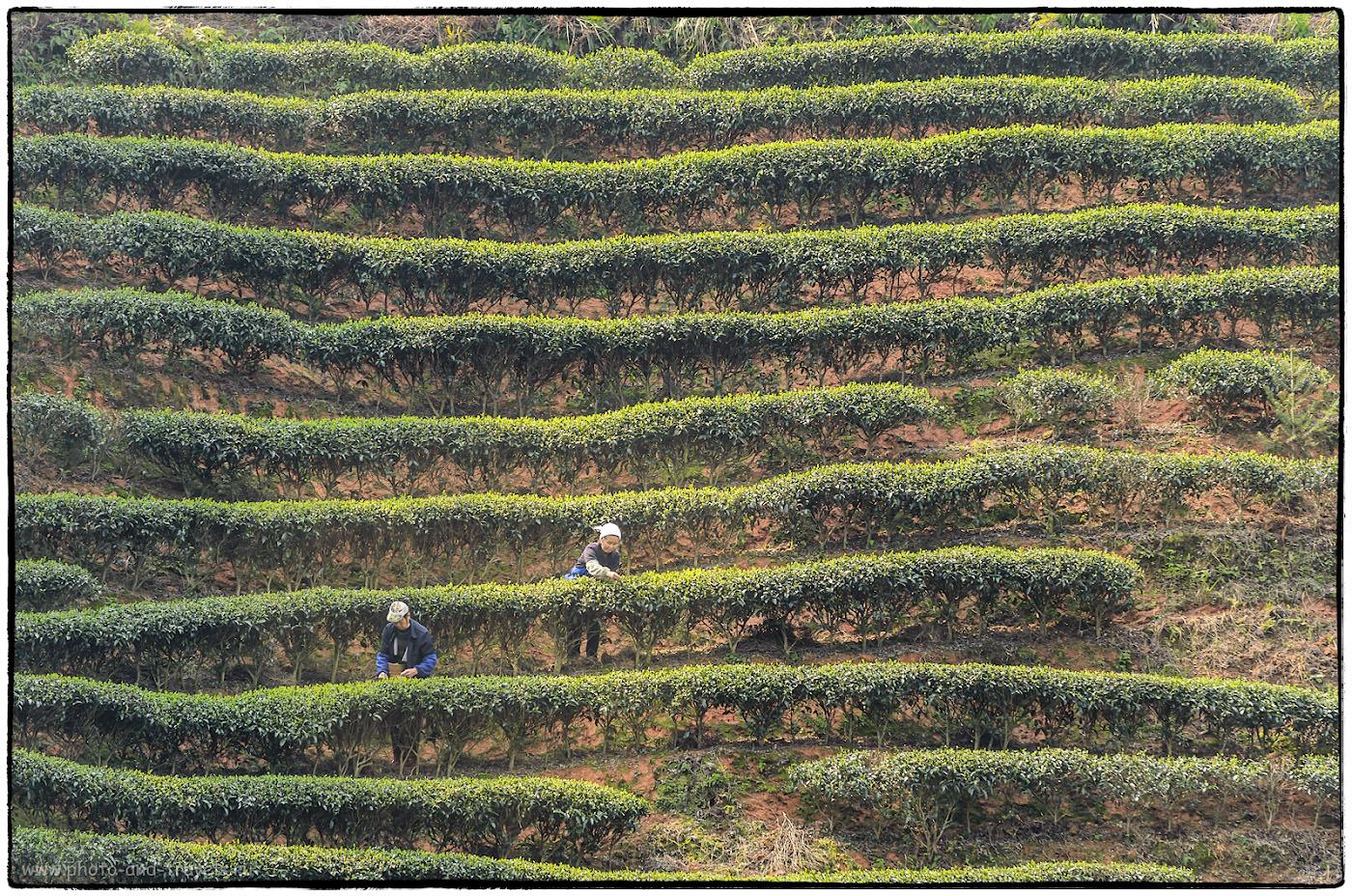 10. Китайские чайные плантации, в отличие от аналогов на Шри-Ланке, не такие изумрудно-зеленые. Снято на Nikon D5100 и телевик Nikon 70-300 при ФР=170 мм. Расстояние до объекта съемки - примерно, 100 метров. Отчет о поездке в Китай.