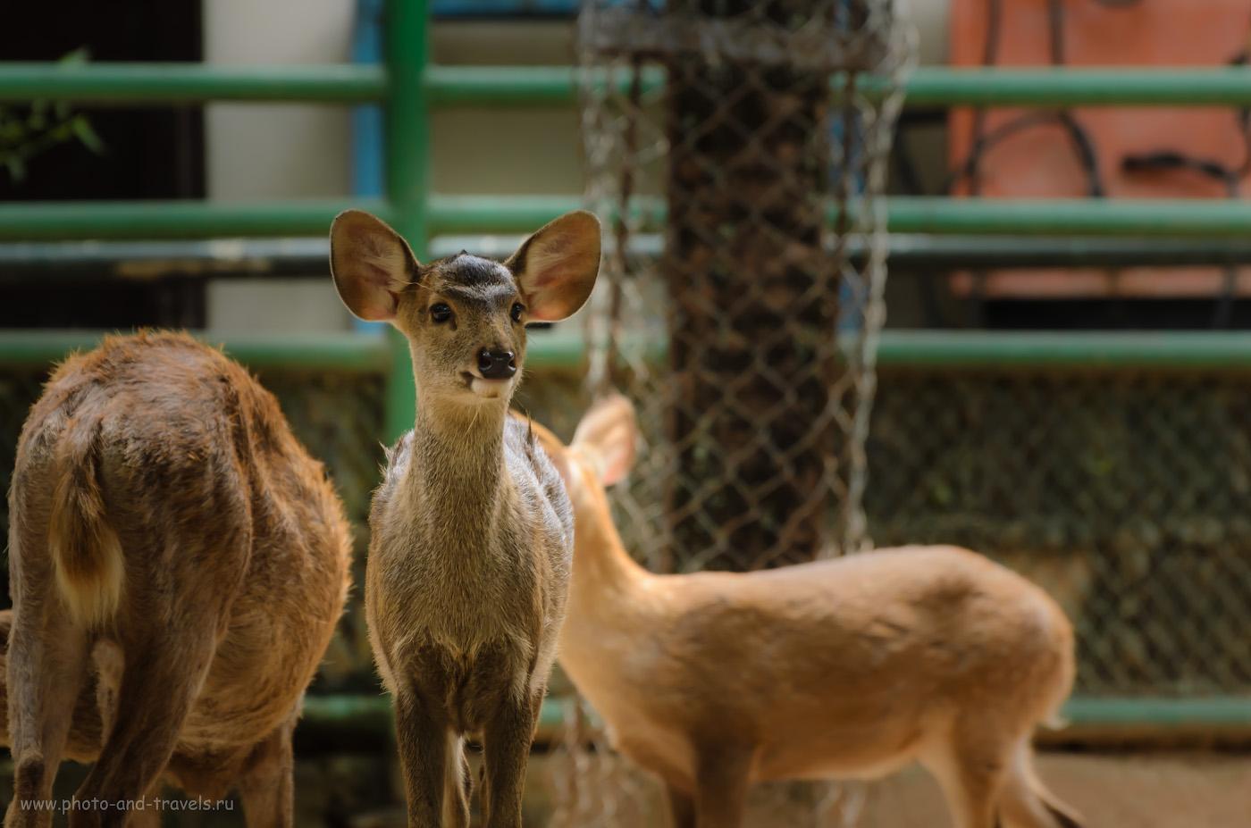 17. Маленький Бэмби в зверинце парка Нонг Нуч в Паттайе. Отзывы о путешествии в Таиланд на отдых. (настройки камеры: В 1/160 сек, f/5.3, ФР 195 мм, светочувствительность 500)