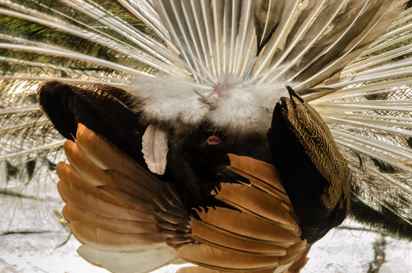 27. Курица... Вот такие чудеса можно увидеть в саду мадам Нонг Нуч в Паттайе. Отзывы об отдыхе в Таиланде.