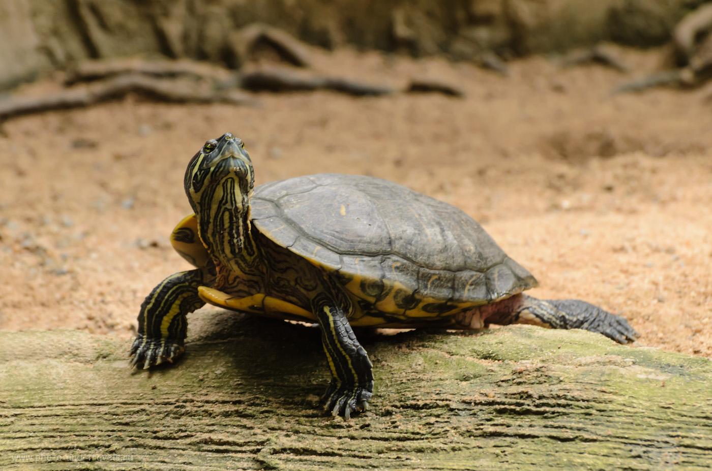 22. Болотная черепаха в зверинце сада Нонг Нуч в Паттайе. Советы по самостоятельному посещению для туристов, отдыхающих в Таиланде.