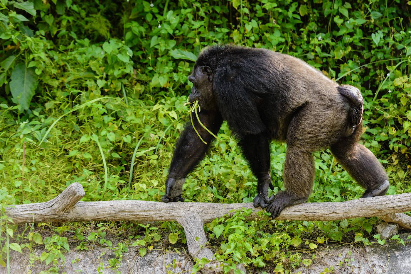 Фотография 20. Шимпанзе в вольере открытого зоопарка «Кхао-Кхео» в окрестностях Паттайи. Интересные экскурсии на отдыхе в Таиланде. 1/500, 2.8, 640, 125.