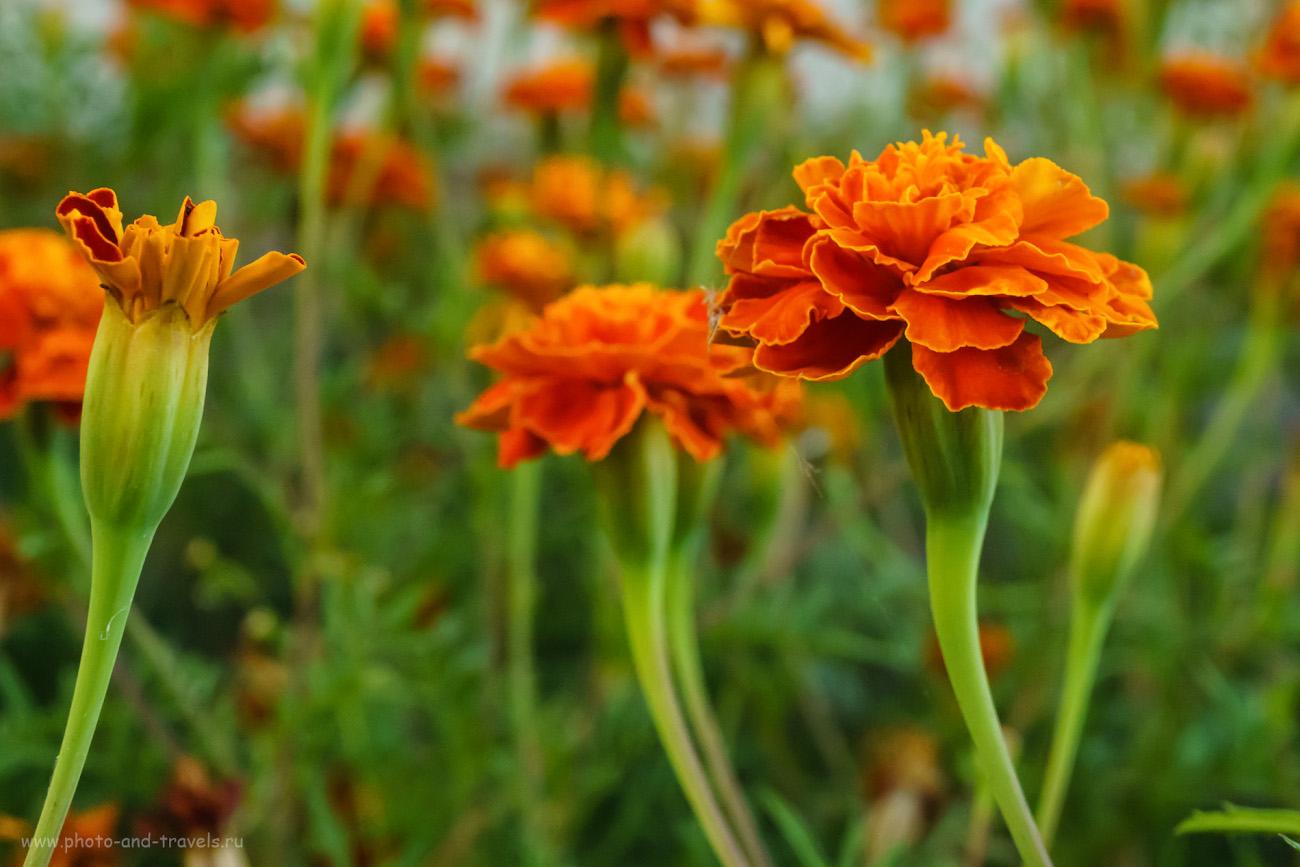 Фотография 15. Съемка цветов на Сони А6000 КИТ 16-50/3.5-5.6. Настройки, использованные при фотографировании: 1/80, +0.3, 11.0, 4000, 50.
