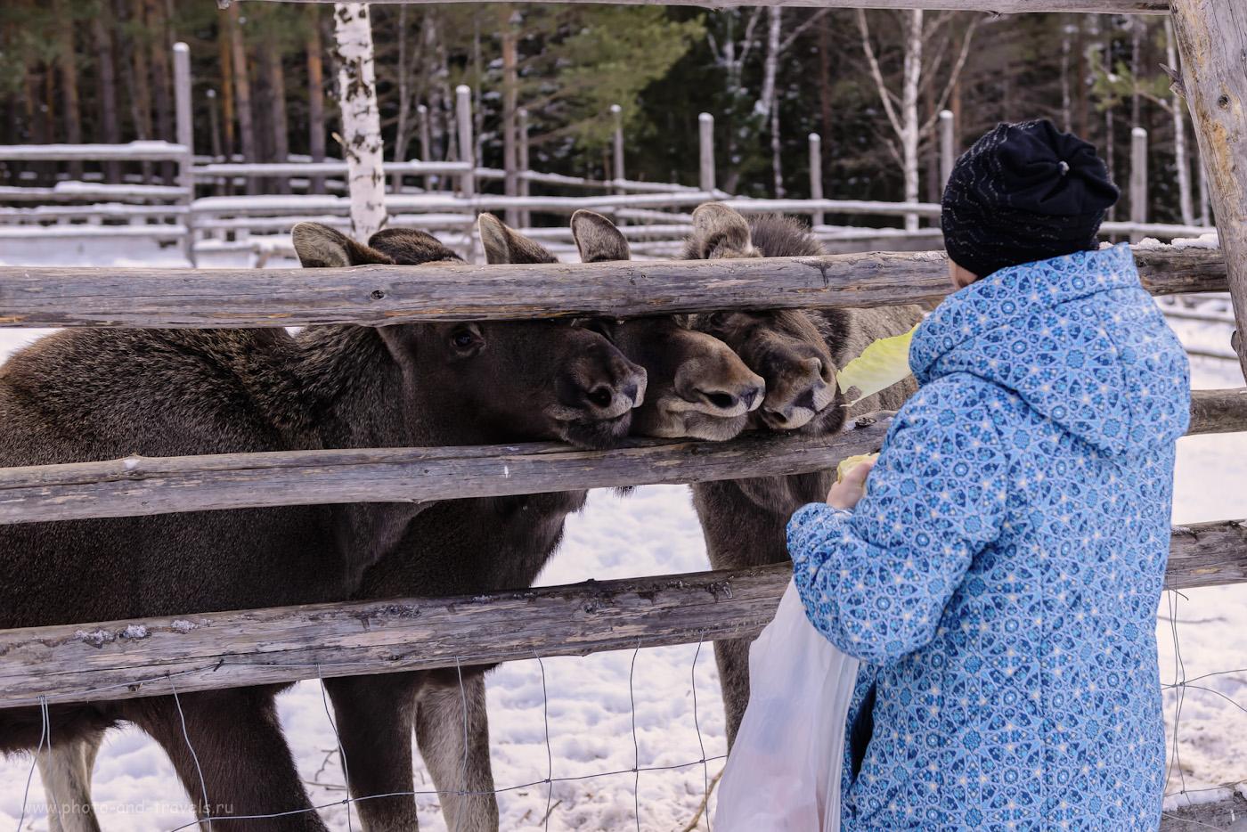 Фотография 26. Лоси в Челябинской области. Отзывы о поездке в парк «Зюраткуль». 1/1600, -1.0, 4.0, 400, 44.