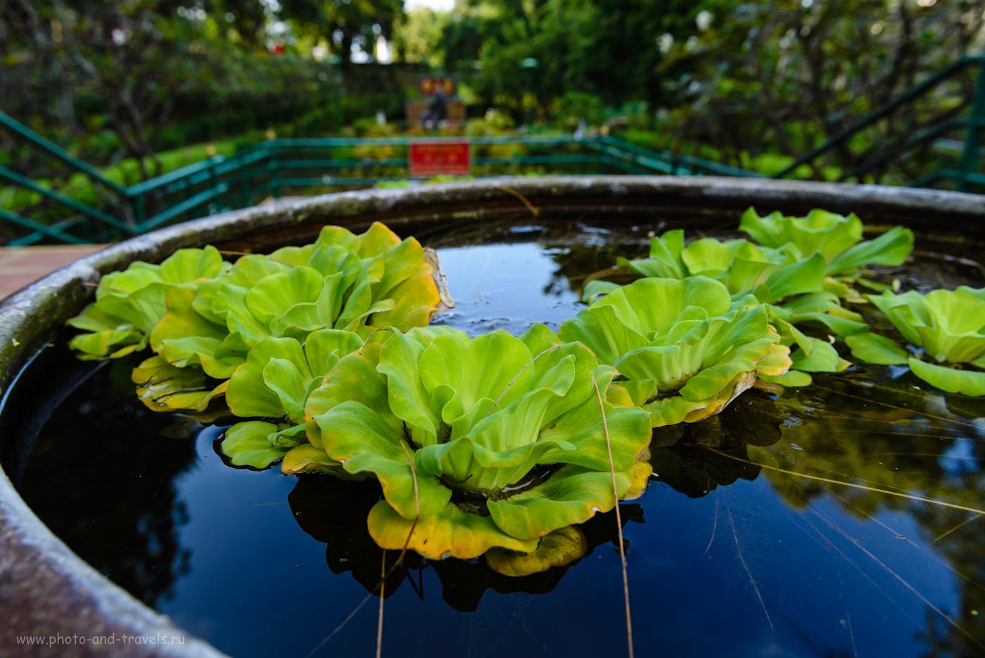 Фотография 11. Водяная капуста в саду Zhong Sun Gardens в парке Wang Sam Sien в Паттайе. Как мы ходили смотреть на Большого Будду, что сидит на вершине холма Пратамнак и на смотровую площадку. 1/50, 8.0, 180, 24.