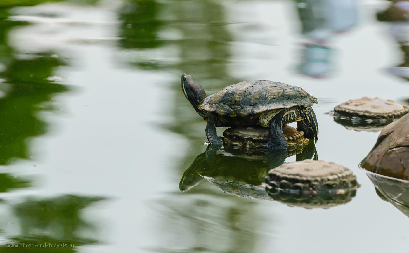 Снимок 17. Красноухая черепаха в парке Ванг СамСьенг в Паттайе. Фотоохота у подножья храма Большого Будды. 1/640, +0.33, 6.3, 5000, 280.