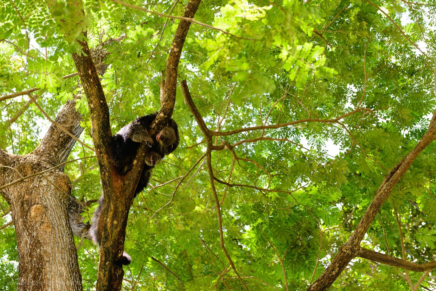Фотография 5. Спящий бинтуронг в зоопарке «Кхао Кхео» в окрестностях Паттайи. Отзывы туристов о самостоятельном посещении. 1/500, +0.33, 3.5, 720, 62.