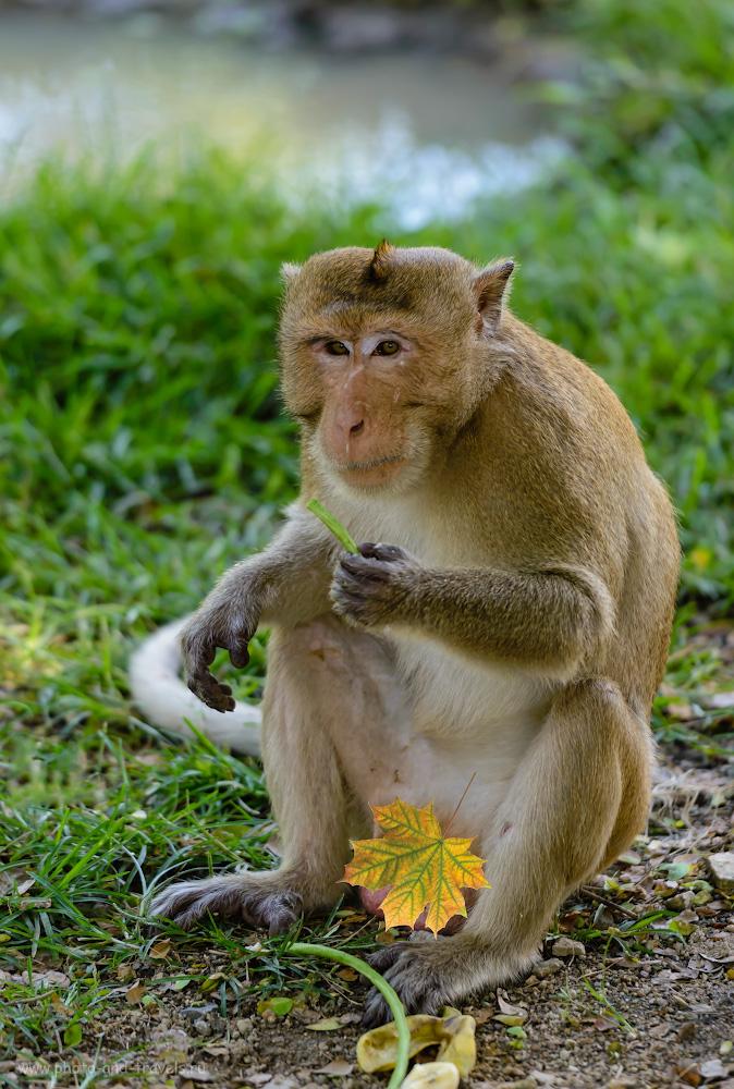 Фотография 8. Макака на лужайке открытого зоопарка «Кхао Кхео» (Khao Kheow Open Zoo). 1/500, 2.8, 450, 200.