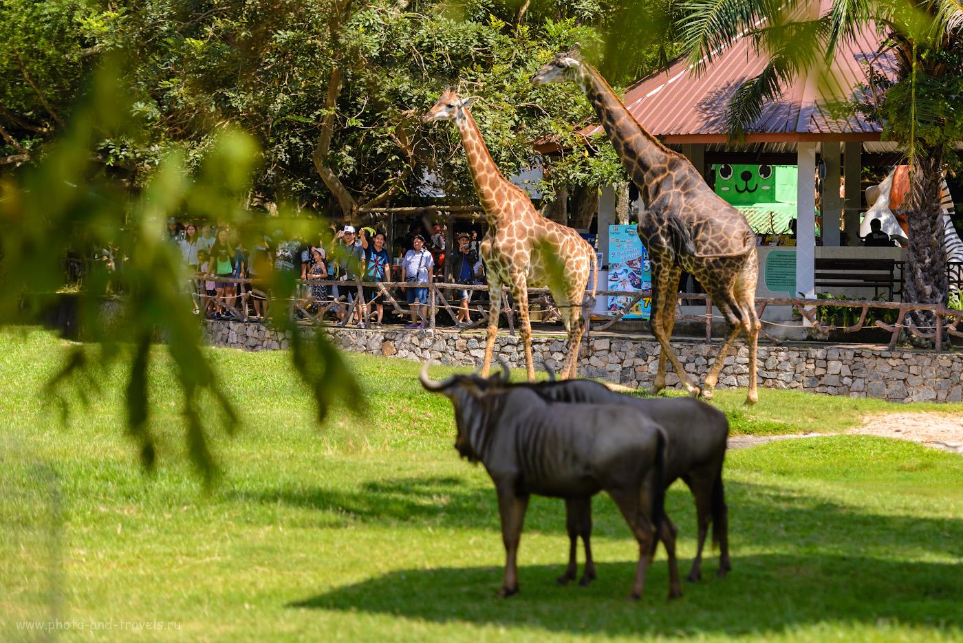 Фотография 8. Обитатели зоны «Африка» в зоопарке «Кхао Кхео». Здесь ваш ребенок сможет познакомиться с обитателями африканской саванны. 1/800, 2.8, 100, 120.