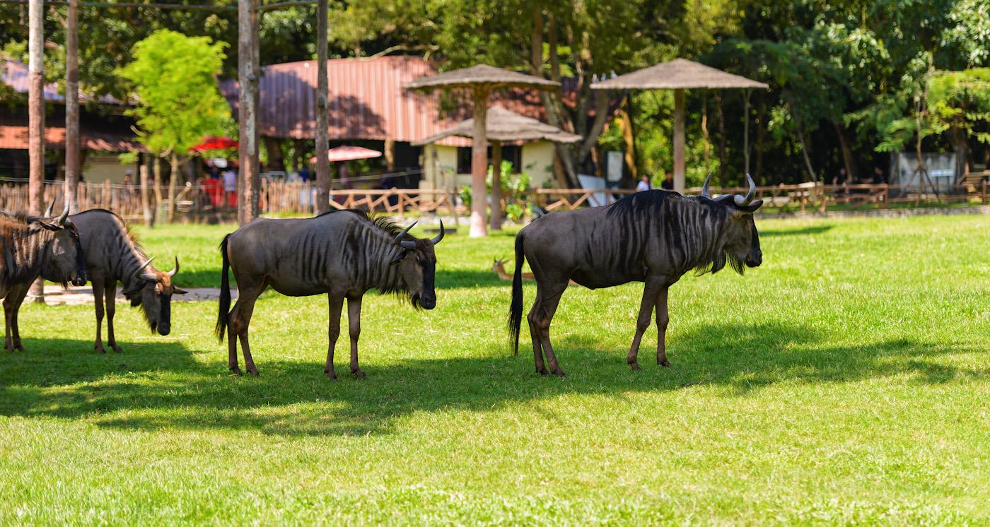 Фотография 9. Стадо голубых гну в зоне «Африканская саванна» на территории зоопарка «Кхао Кхео» в окрестностях курорта Паттайя. 1/500, +0.67, 2.8, 125, 116.