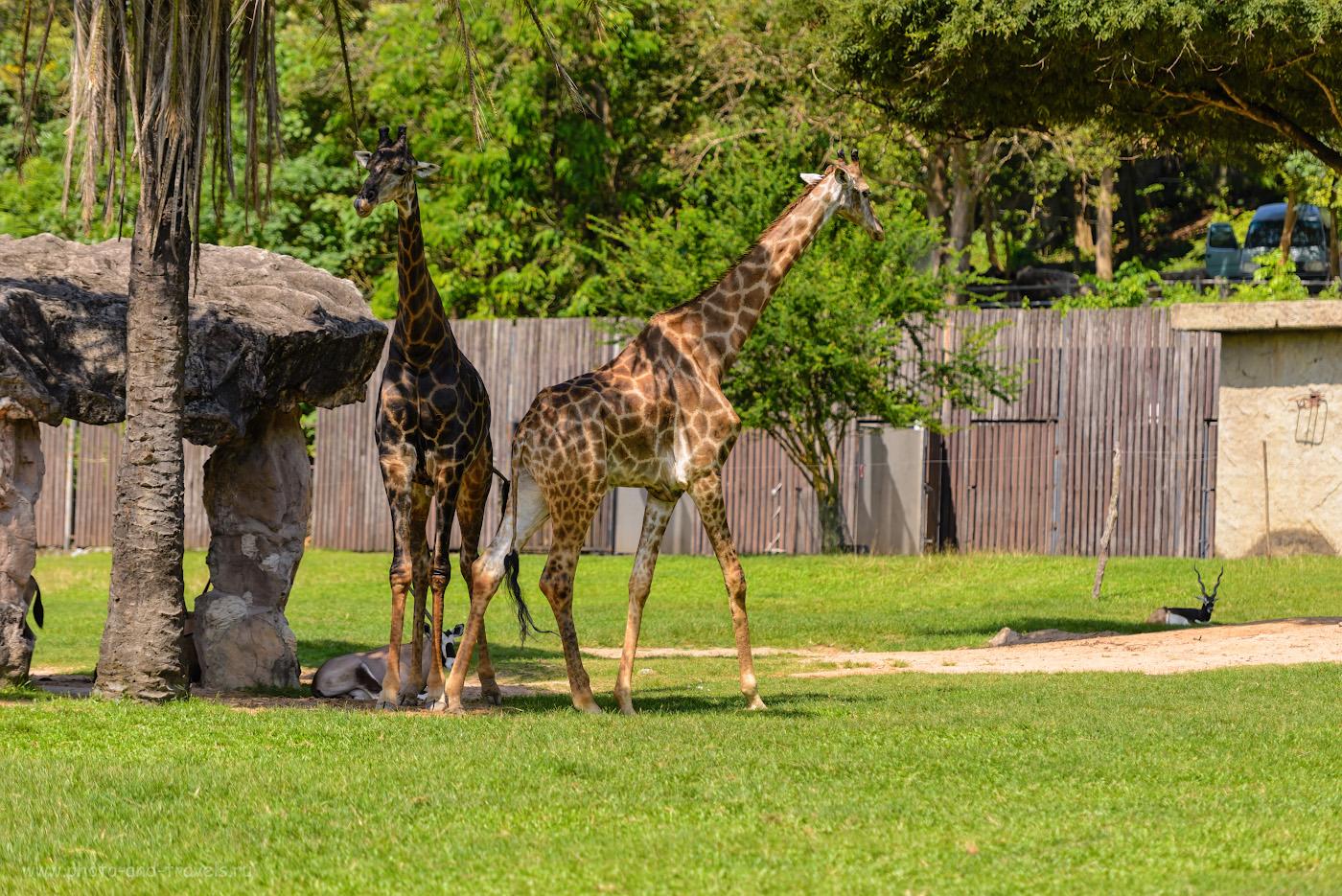 Фотография 10. Парочка жирафов в Khao Kheow Open Zoo. Где можно устроить сафари в окрестностях Паттайи. 1/1000, 2.8, 100, 155.