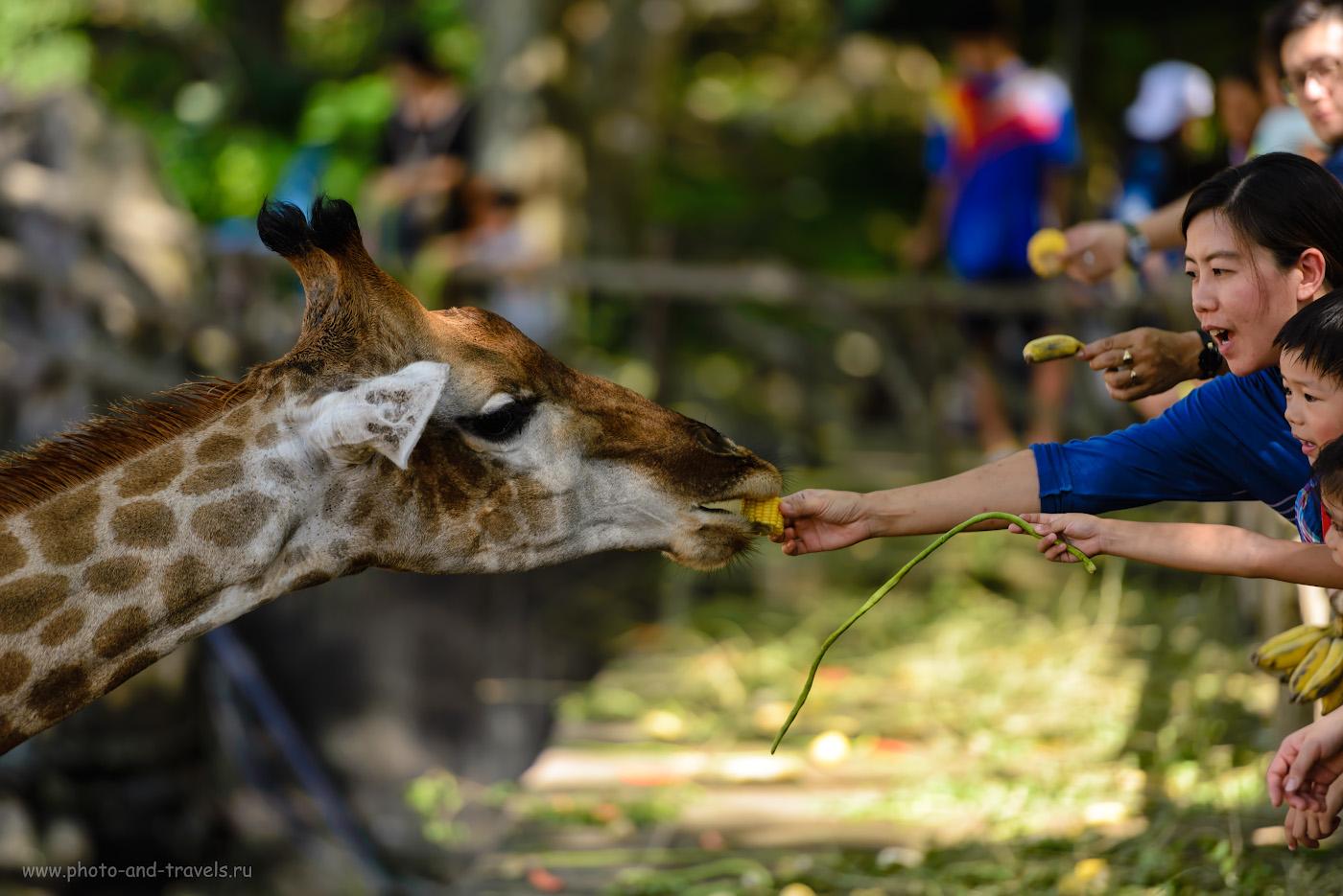 Фото 1. «Кхао Кхео» (Khao Kheow Open Zoo) – это огромный контактный зоопарк, где можно покормить почти всех животных. Экскурсия, куда можно поехать с ребенком, отдыхая в Паттайе. Снято на Nikon D610 + Nikon 70-200mm f/2.8G. Настройки: 1/500, +0.33, 2.8, 250, 200.