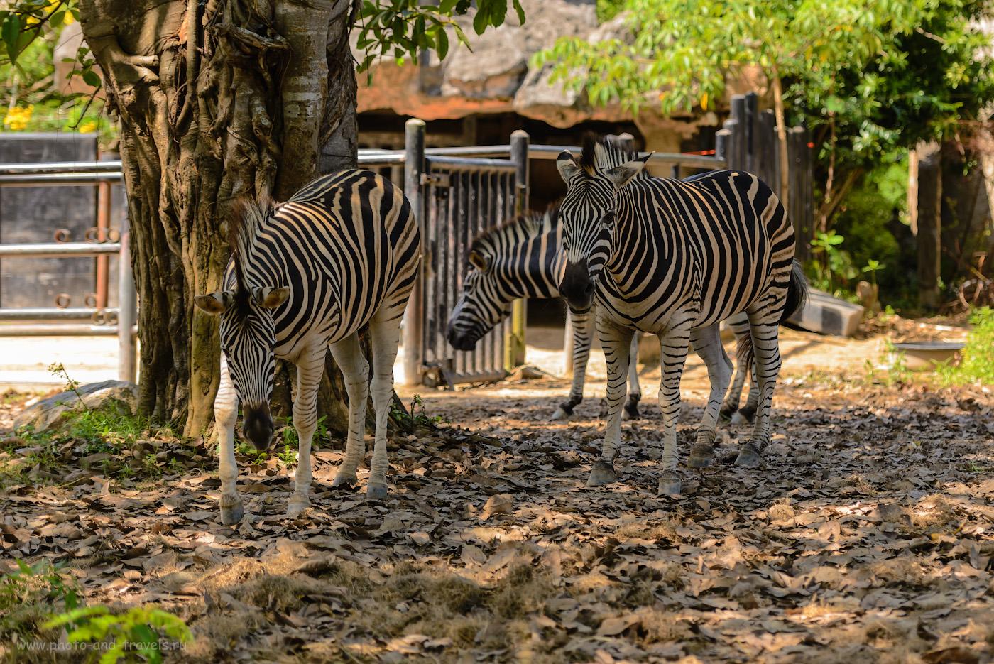 Фото 11. Зебры в зоопарке Khao Kheow Open Zoo. Стоит ли ехать сюда на экскурсию с детьми. Отзывы об отдыхе в Паттайе в октябре месяце. 1/500, +0.33, 2.8, 180, 100.