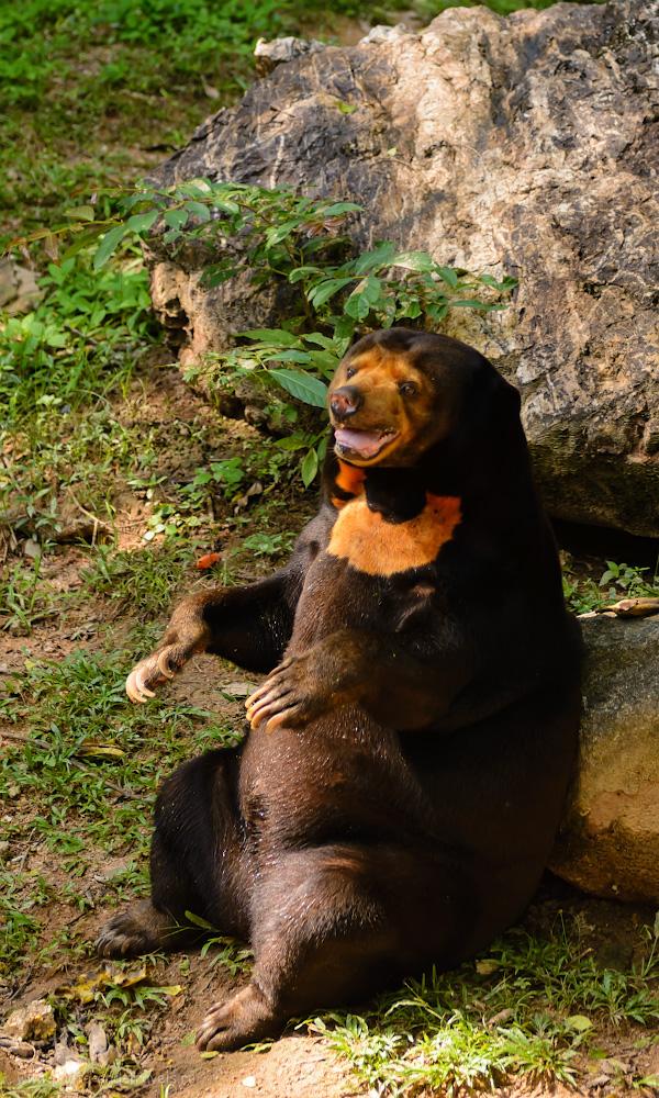 Фотография 14. Малайский медведь. Такое чудо я также встретил в Паттайе впервые в жизни и раньше не знал о его существовании. Польза от посещения открытого зоопарка «Кхао Кхео» - экологическое просвещение. 1/500, -0.67, 2.8, 220, 56.