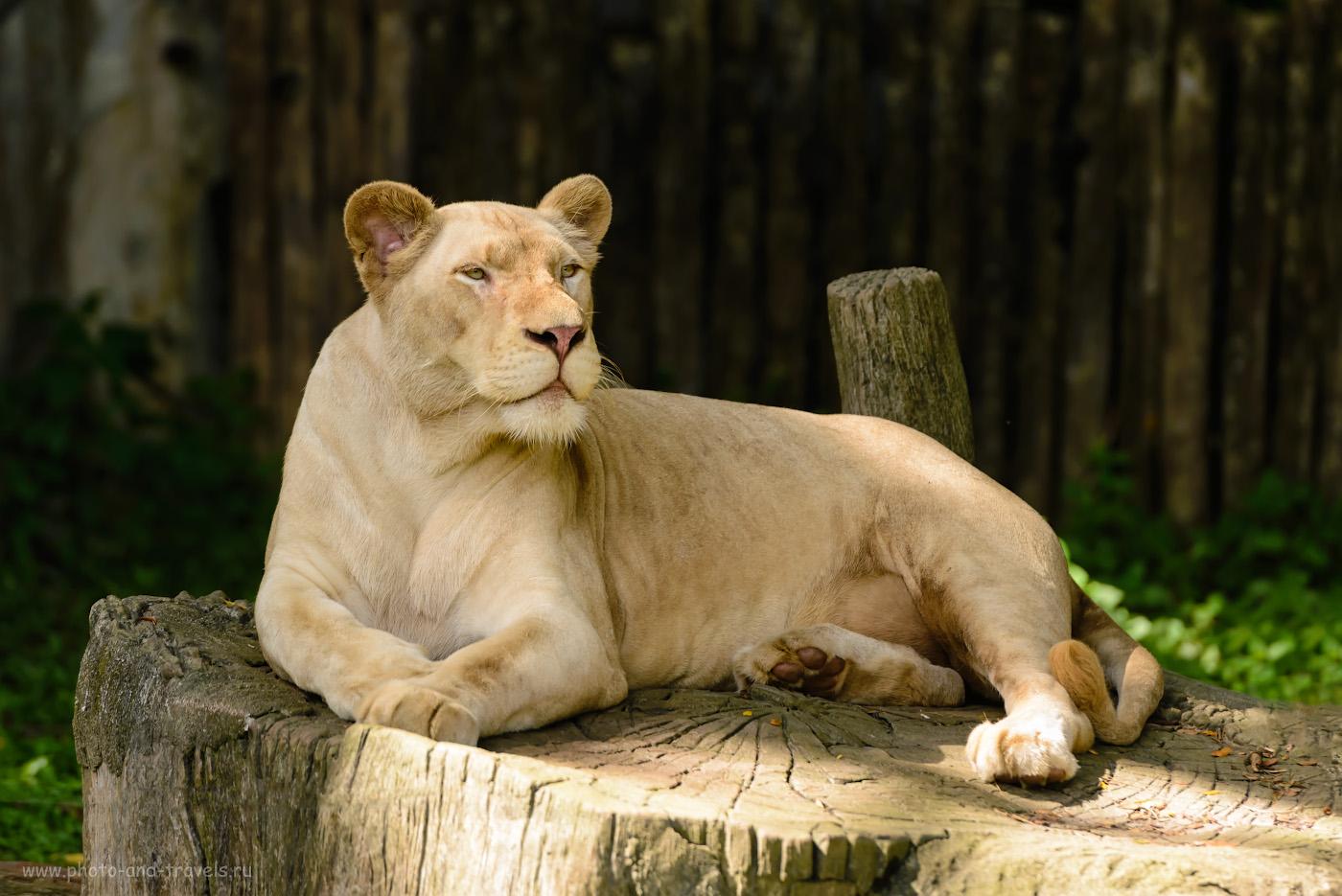 Фото 17. А вы знали, что на свете существуют белые львы? Съездите на экскурсию в зоопарк «Кхао Кхео» и привезите доказательства. 1/500, 3.5, 360, 200.