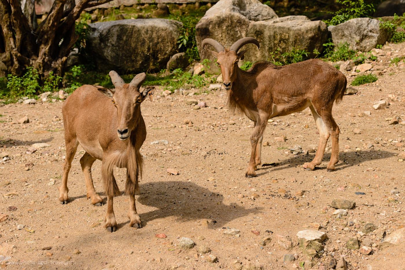 Фотография 22. Козлы. Этих неприхотливых животных можно встретить в любом зоопарке мира. И Khao Kheow Open Zoo - не исключение. Куда поехать из Паттайи на экскурсию. 1/500, +0.33, 7.1, 160, 70.