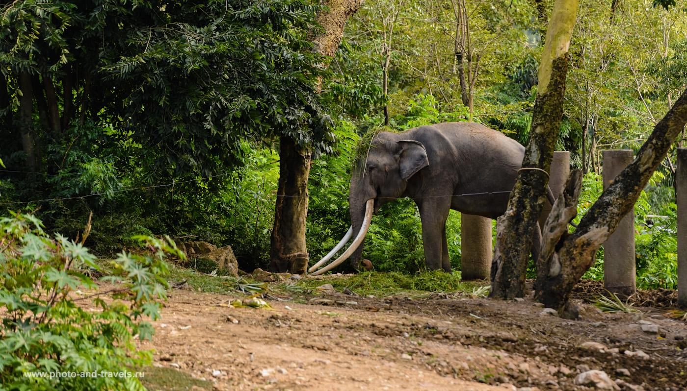 Фото 23. Слон в Джунглях зоопарка «Кхао Кхео». Если прийти в нужный момент, можно увидеть шоу таких гигантских млекопитающих в бассейне. 1/500, +1.0, 3.2, 220, 70.