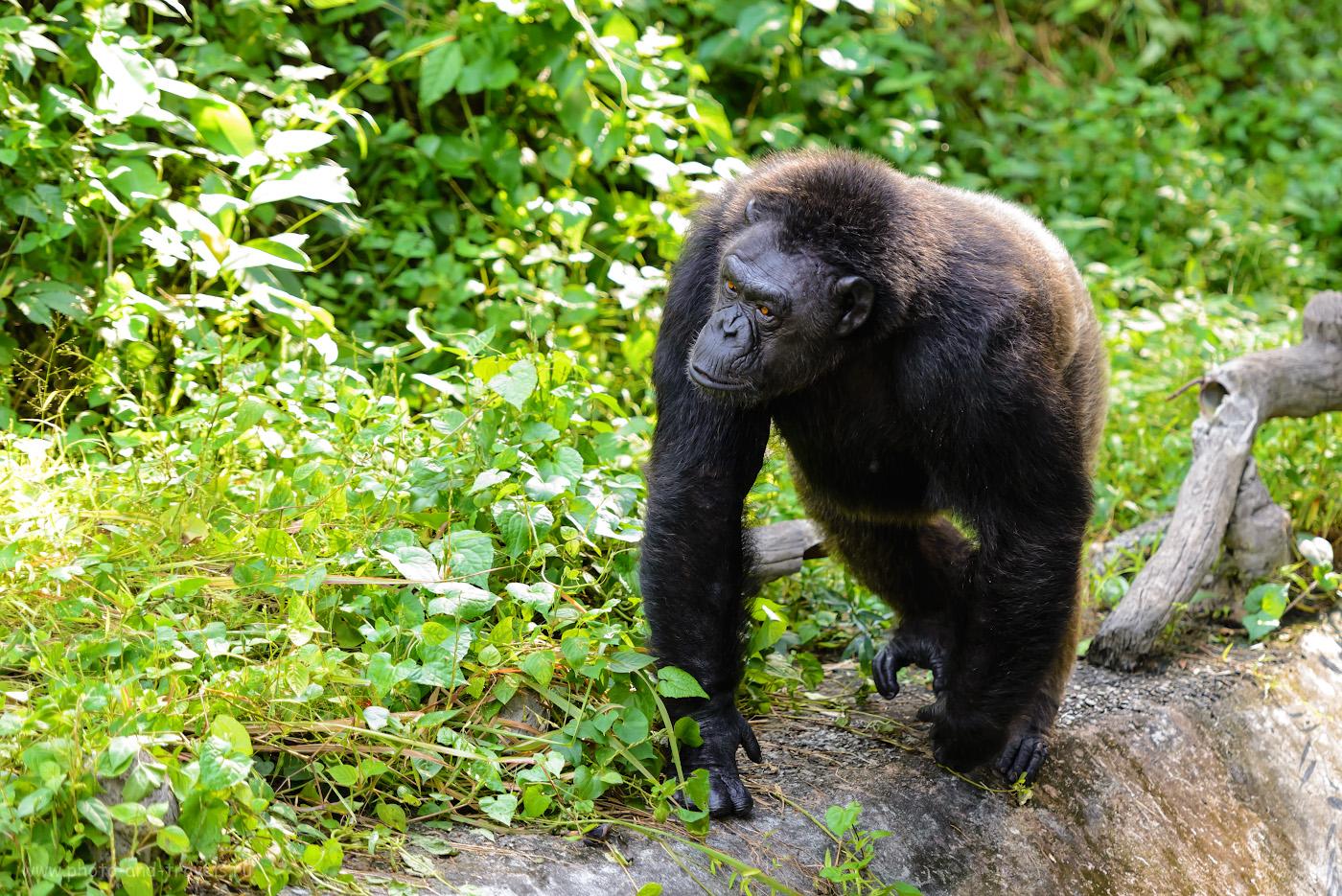Снимок 27. Шимпанзе в зоопарке «Кхао Кхео». Если обидите, такой мужик может и камнем в лоб запустить. 1/500, +1.0, 2.8, 1400, 145.