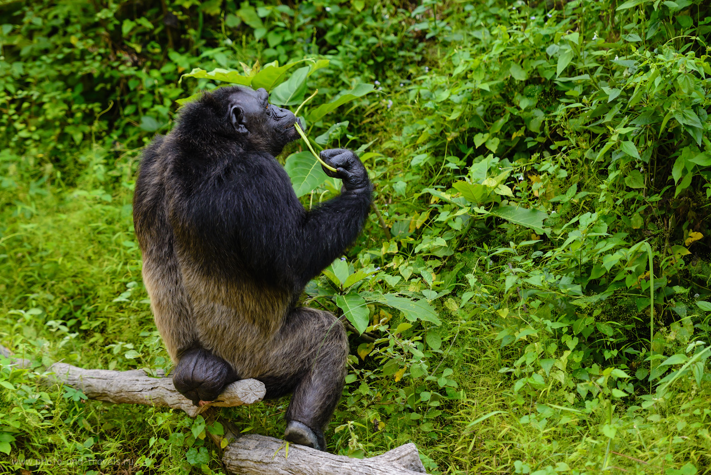 Фотография 25. Стоит ли ехать в зоопарк «Кхао Кхео» с детьми? Думаю, уже только ради красавцев шимпанзе это можно сделать. Отзывы туриста об отдыхе в Паттайе. 1/500, 2.8, 640, 160.
