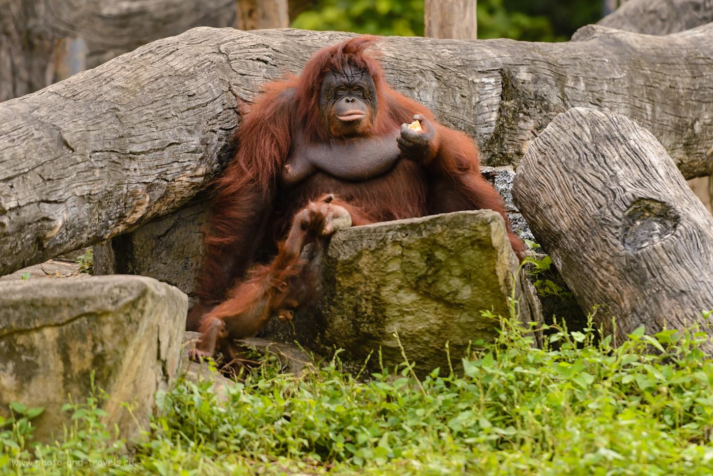 Фотография 28. Самка орангутанга и детеныш в вольере зоопарка «Кхао Кхео». Интересные экскурсии для туристов с ребенком, куда можно съездить на отдыхе в Паттайе. 1/500, 2.8, 450, 200.