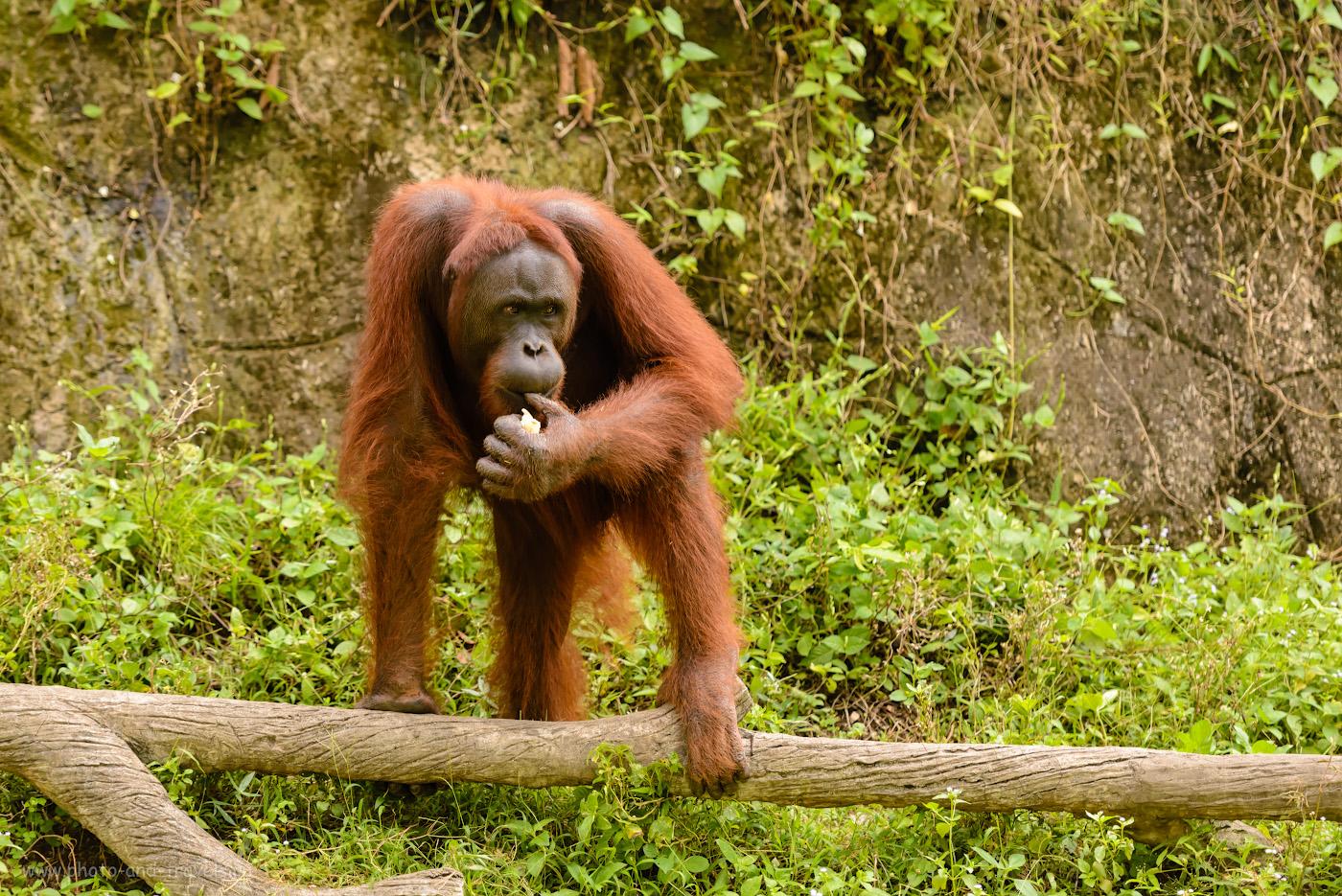 Фотография 29. Зачем ехать в Khao Kheow Open Zoo? Да, чтобы полюбоваться красавцами-орангутангами хотя бы. Отчет об отдыхе в Таиланде в четвертый раз. 1/500, 2.8, 800, 145.