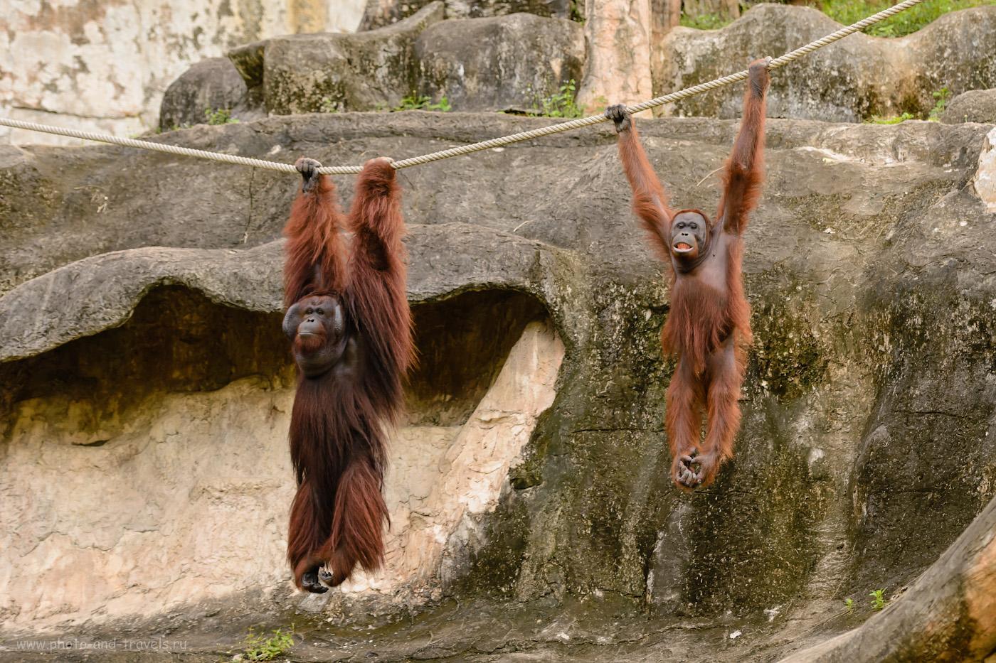Фото 30. Орангутанги в зоопарке Khao Kheow Open Zoo. Где еще можно полюбоваться такими задаваками? 1/320, 2.8, 400, 102.