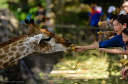 Alternativnaia dostoprimechatelnost krokodilovoi ferme otkrytyi zoopark Kkhao-Kkheo raspolozhennyi v prigorode Pattaii Karta so skhemoi kak doekhat na tuk-tuke i na taksi