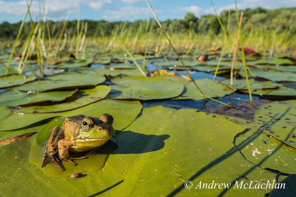 Фото 2. Самец зеленой лягушки в болоте. Съемка на полнокадровую камеру Nikon D800 и широкоугольный макрообъектив Laowa 15mm f/4. Настройки: ISO 400, f/16, выдержка 1/125 сек. Снято с рук в кроп-формате 1.5 DX.