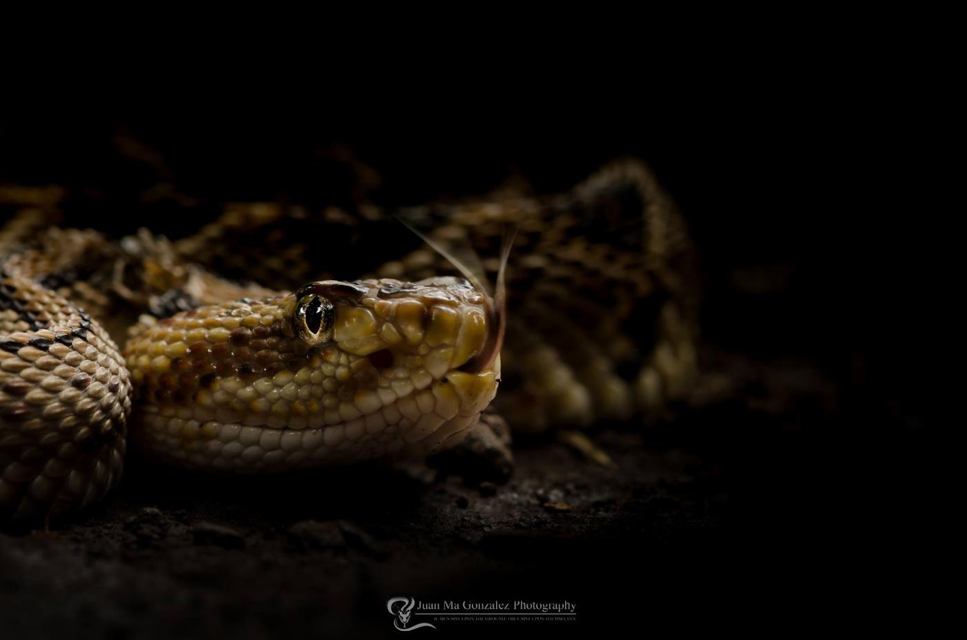 Фото 25. Съемка портрета змеи на Nikon D5600 + широкоугольный макроообъектив Laowa 15mm f4 1:1 Macro.