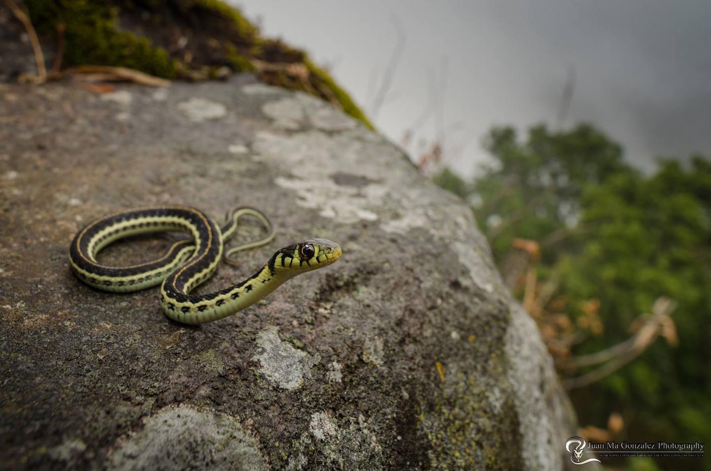 Фотография 28. Портрет желтогорлой подвязочной змеи, снятый на широкоугольный макрик Laowa 15mm f4 1:1 Macro.