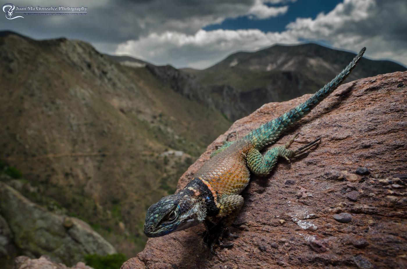 Фото 29. Фотоохота на ящерицуLagartija espinoza menor в горах Мексики. Съемка рептилий на экстремально коротких фокусных расстояниях. Тестирование макрообъектива Laowa 15mm f4 1:1 Macro на тушке Nikon D5600.